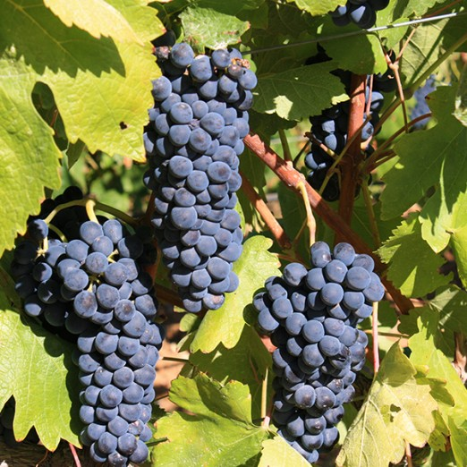 "Winemaker's Association ""Grozd"""